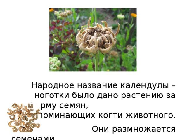 Народное название календулы – ноготки было дано растению за форму семян, напоминающих когти животного.  Они размножается семенами.