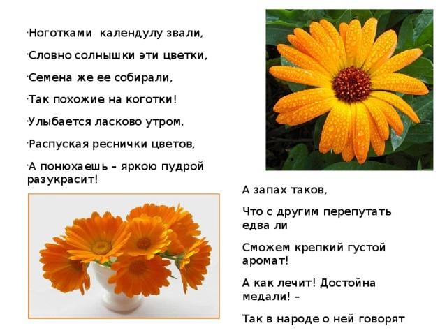 Ноготками календулу звали, Словно солнышки эти цветки, Семена же ее собирали, Так похожие на коготки! Улыбается ласково утром, Распуская реснички цветов, А понюхаешь – яркою пудрой разукрасит!