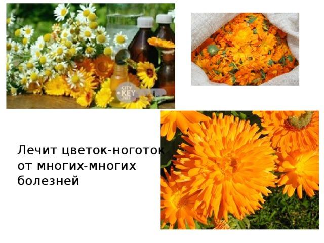 Лечит цветок-ноготок от многих-многих болезней