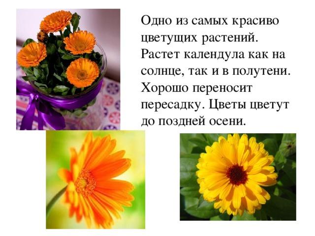 Одно из самых красиво цветущих растений. Растет календула как на солнце, так и в полутени. Хорошо переносит пересадку. Цветы цветут до поздней осени.