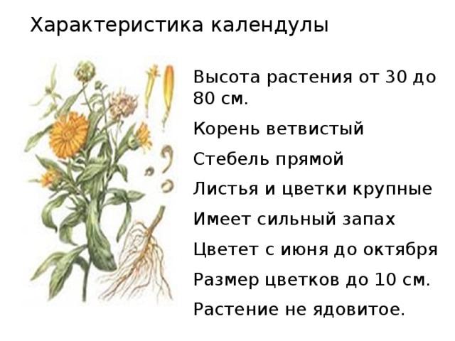 Характеристика календулы Высота растения от 30 до 80 см. Корень ветвистый Стебель прямой Листья и цветки крупные Имеет сильный запах Цветет с июня до октября Размер цветков до 10 см. Растение не ядовитое.