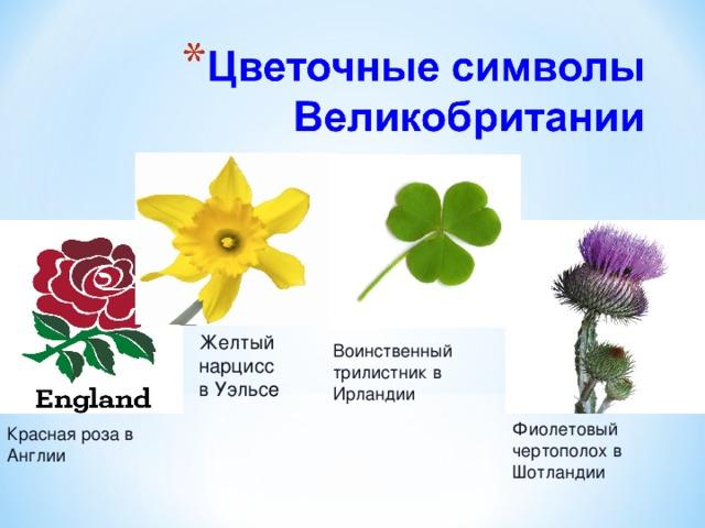 Желтый нарцисс в Уэльс е Воинственный трилистник в Ирландии Фиолетовый чертополох в Шотландии Красная роза в Англии