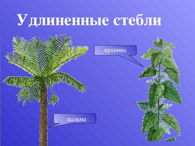 Удлиненные стебли крапива Стволы пальм достигают большой высоты и толщины, но не ветвятся. пальма