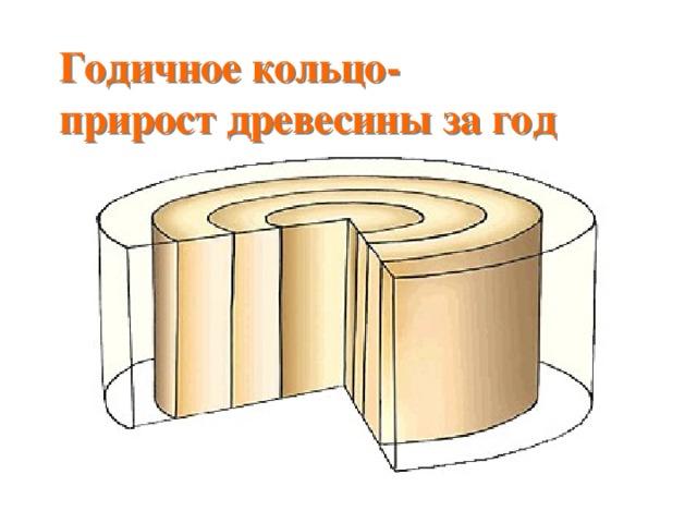 Годичное кольцо-  прирост древесины за год На срезе дерева видны слои древесины. Каждый образовался из камбия за один летний сезон.