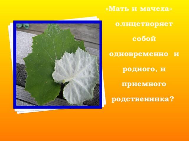 Растение «Мать и мачеха» олицетворяет собой одновременно и родного, и приемного родственника?