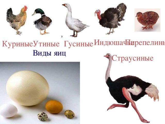 Перепелиные Индюшачьи Гусиные Утиные Куриные Виды яиц Страусиные