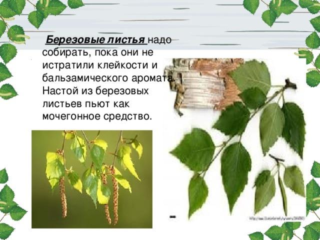 Березовые листья надо собирать, пока они не истратили клейкости и бальзамического аромата. Настой из березовых листьев пьют как мочегонное средство.