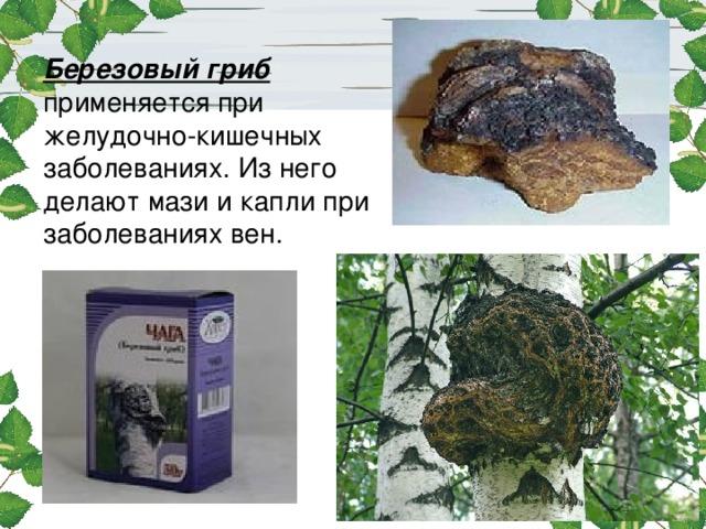 Березовый гриб применяется при желудочно-кишечных заболеваниях. Из него делают мази и капли при заболеваниях вен.