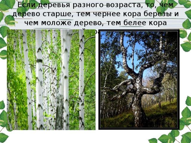 Если деревья разного возраста, то, чем дерево старше, тем чернее кора березы и чем моложе дерево, тем белее кора нашей красавицы
