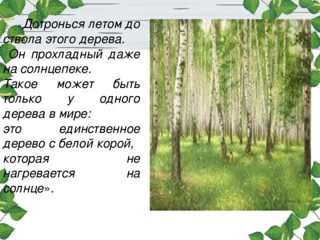 « Дотронься летом до ствола этого дерева.  Он прохладный даже на солнцепеке. Такое может быть только у одного дерева в мире: это единственное дерево с белой корой, которая не нагревается на солнце ».