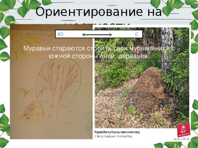 Ориентирование на местности Муравьи стараются строить свои муравейники с южной стороны пней, деревьев . Ю С