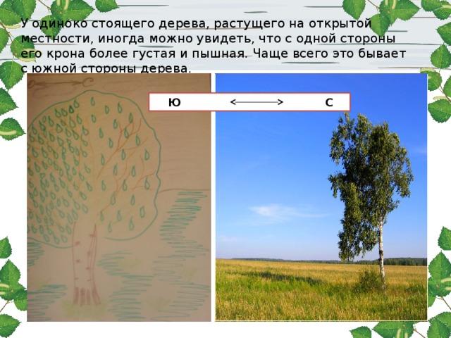У одиноко стоящего дерева, растущего на открытой местности, иногда можно увидеть, что с одной стороны его крона более густая и пышная. Чаще всего это бывает с южной стороны дерева.  Ю С