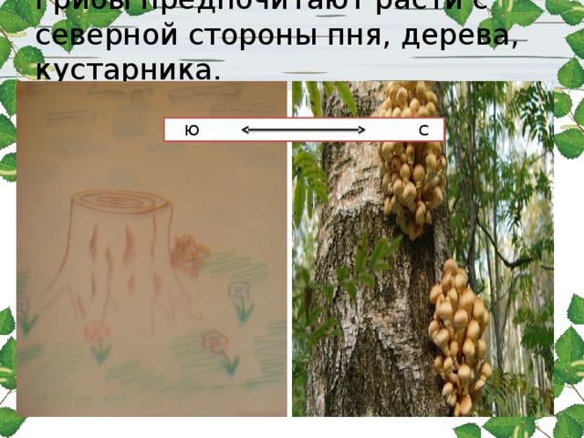 Грибы предпочитают расти с северной стороны пня, дерева, кустарника.    Ю С