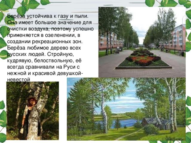 Берёза устойчива к газу и пыли. Она имеет большое значение для очистки воздуха, поэтому успешно применяется в озеленении, в создании рекреационных зон. Берёза любимое дерево всех русских людей. Стройную, кудрявую, белоствольную, её всегда сравнивали на Руси с нежной и красивой девушкой-невестой