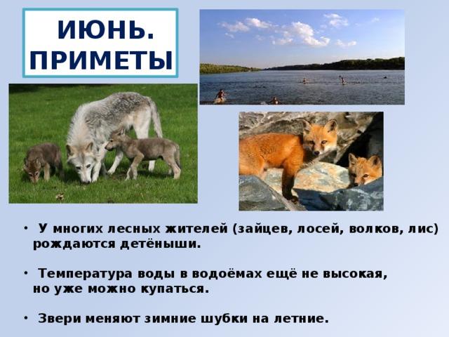 ИЮНЬ. ПРИМЕТЫ  У многих лесных жителей (зайцев, лосей, волков, лис)  рождаются детёныши.   Температура воды в водоёмах ещё не высокая,  но уже можно купаться.