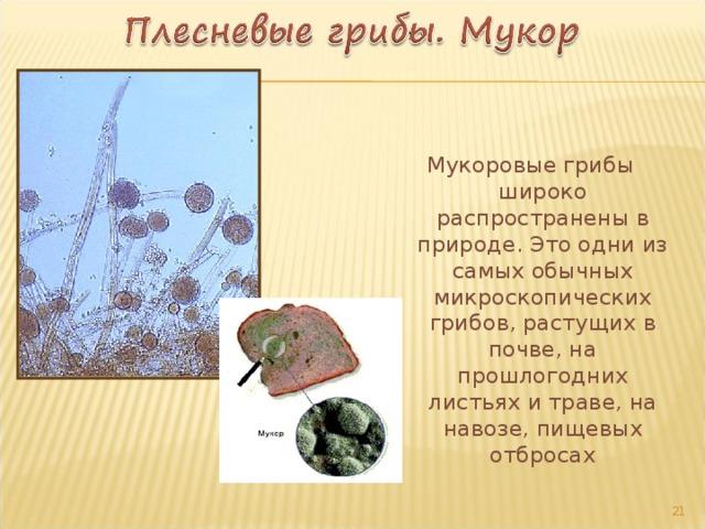 Мукоровые грибы широко распространены в природе. Это одни из самых обычных микроскопических грибов, растущих в почве, на прошлогодних листьях и траве, на навозе, пищевых отбросах 17