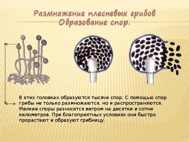 В этих головках образуются тысячи спор. С помощью спор грибы не только размножаются, но и распространяются. Мелкие споры разносятся ветром на десятки и сотни километров. При благоприятных условиях они быстро прорастают и образуют грибницу.