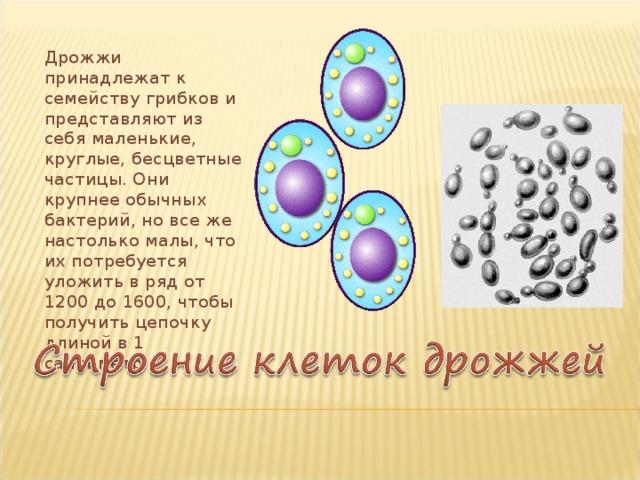 Дрожжи принадлежат к семейству грибков и представляют из себя маленькие, круглые, бесцветные частицы. Они крупнее обычных бактерий, но все же настолько малы, что их потребуется уложить в ряд от 1200 до 1600, чтобы получить цепочку длиной в 1 сантиметр.
