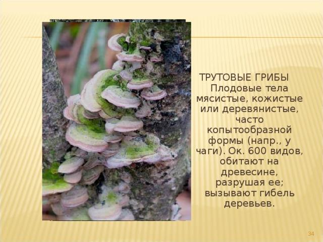 ТРУТОВЫЕ ГРИБЫ Плодовые тела мясистые, кожистые или деревянистые, часто копытообразной формы (напр., у чаги). Ок. 600 видов, обитают на древесине, разрушая ее; вызывают гибель деревьев. 17