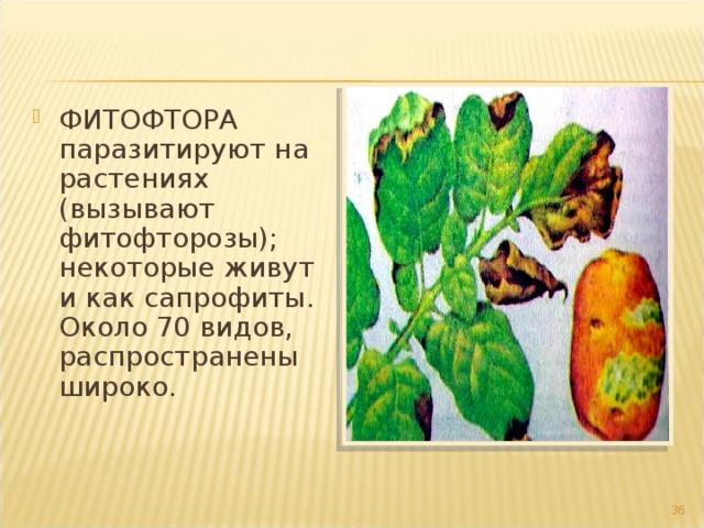 ФИТОФТОРА паразитируют на растениях (вызывают фитофторозы); некоторые живут и как сапрофиты. Около 70 видов, распространены широко.