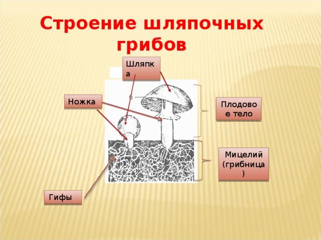 Строение шляпочных грибов Шляпка Ножка Плодовое тело Мицелий (грибница) Гифы