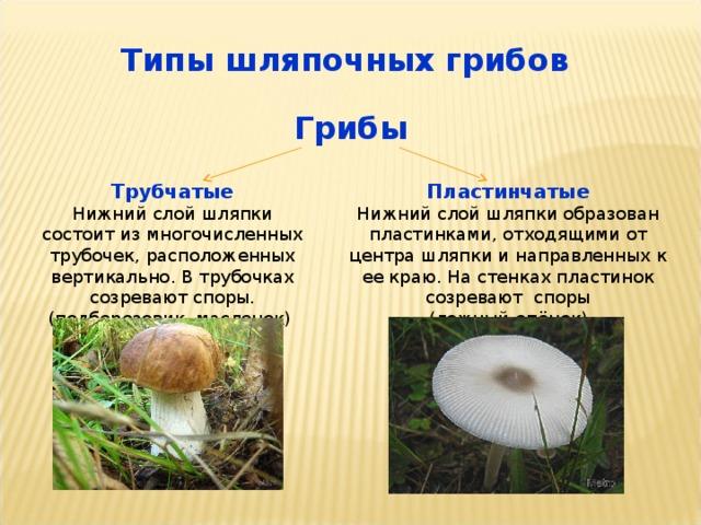 Типы шляпочных грибов Грибы  Трубчатые Пластинчатые Нижний слой шляпки состоит из многочисленных трубочек, расположенных вертикально. В трубочках созревают споры. (подберезовик, масленок) Нижний слой шляпки образован пластинками, отходящими от центра шляпки и направленных к ее краю. На стенках пластинок созревают споры (ложный опёнок)