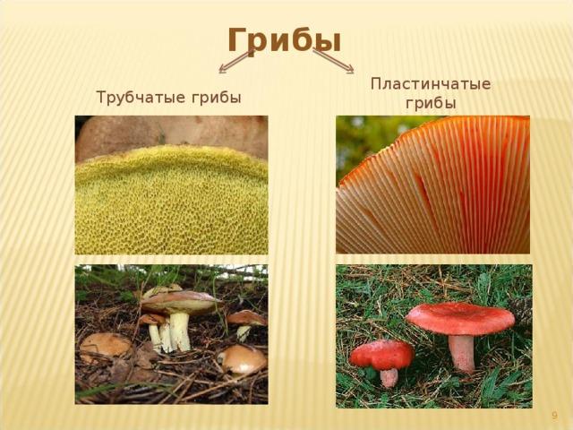Грибы Пластинчатые грибы Трубчатые грибы 5