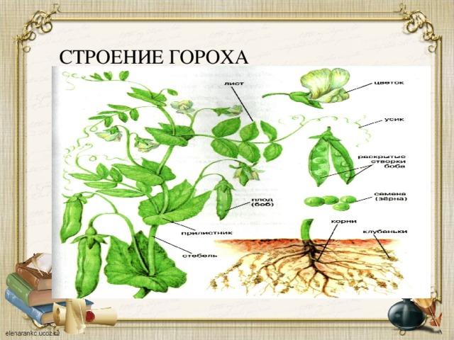 подготовка семян к посеву гороха