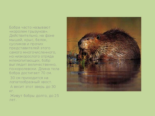 Бобра часто называют «королем грызунов». Действительно, на фоне мышей, крыс, белок, сусликов и прочих представителей этого самого многочисленного, но низкорослого отряда млекопитающих, бобр выглядит величественно, по-королевски. Длина тела бобра достигает 70 см.  30 см приходится на лопатообразный хвост.  А весит этот зверь до 30 кг.  Живут бобры долго, до 25 лет.