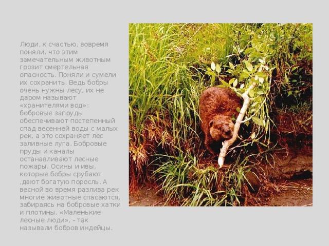 Люди, к счастью, вовремя поняли, что этим замечательным животным грозит смертельная опасность. Поняли и сумели их сохранить. Ведь бобры очень нужны лесу, их не даром называют «хранителями вод»: бобровые запруды обеспечивают постепенный спад весенней воды с малых рек, а это сохраняет лес заливные луга. Бобровые пруды и каналы останавливают лесные пожары. Осины и ивы, которые бобры срубают ,дают богатую поросль. А весной во время разлива рек многие животные спасаются, забираясь на бобровые хатки и плотины. «Маленькие лесные люди», - так называли бобров индейцы.