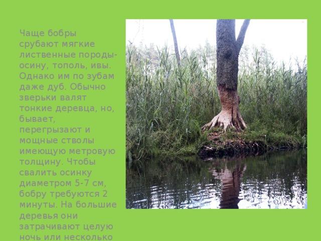 Чаще бобры срубают мягкие лиственные породы-осину, тополь, ивы. Однако им по зубам даже дуб. Обычно зверьки валят тонкие деревца, но, бывает, перегрызают и мощные стволы имеющую метровую толщину. Чтобы свалить осинку диаметром 5-7 см, бобру требуются 2 минуты. На большие деревья они затрачивают целую ночь или несколько ночей.