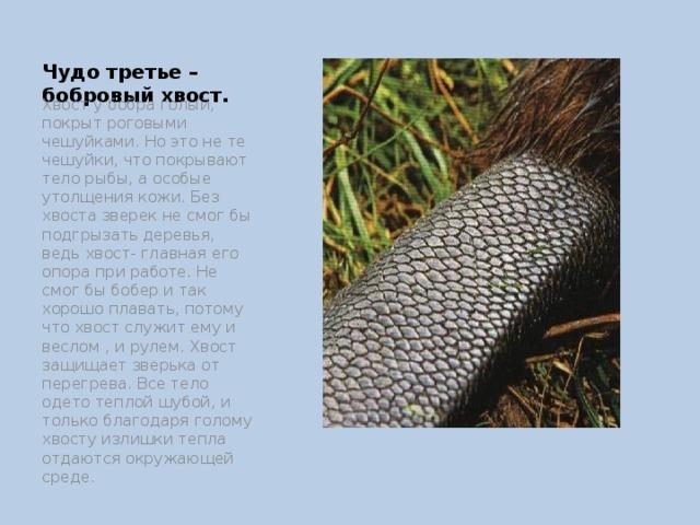 Чудо третье – бобровый хвост. Хвост у бобра голый, покрыт роговыми чешуйками. Но это не те чешуйки, что покрывают тело рыбы, а особые утолщения кожи. Без хвоста зверек не смог бы подгрызать деревья, ведь хвост- главная его опора при работе. Не смог бы бобер и так хорошо плавать, потому что хвост служит ему и веслом , и рулем. Хвост защищает зверька от перегрева. Все тело одето теплой шубой, и только благодаря голому хвосту излишки тепла отдаются окружающей среде.