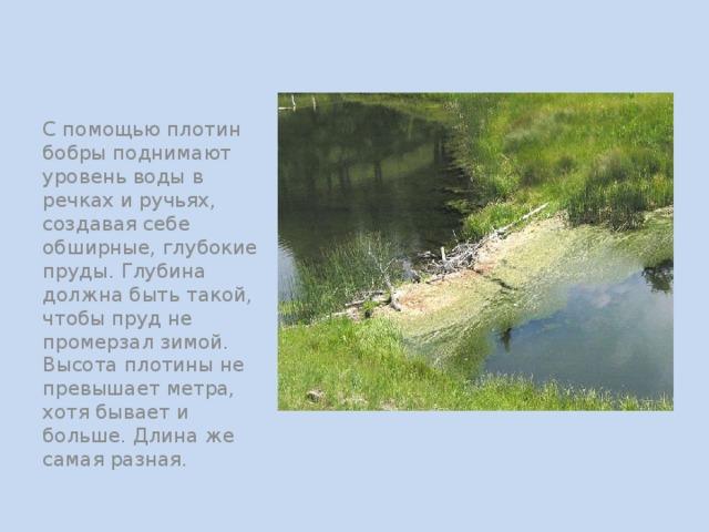 С помощью плотин бобры поднимают уровень воды в речках и ручьях, создавая себе обширные, глубокие пруды. Глубина должна быть такой, чтобы пруд не промерзал зимой. Высота плотины не превышает метра, хотя бывает и больше. Длина же самая разная.