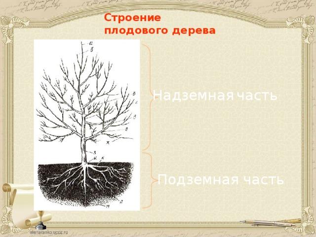 Строение плодового дерева Надземная  часть Подземная часть