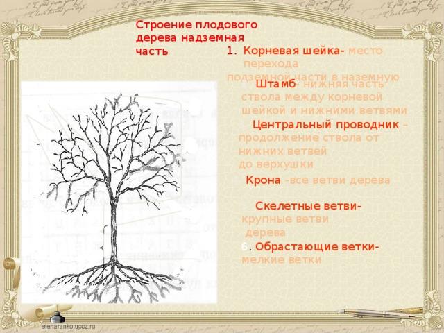 Строение плодового дерева надземная часть Корневая шейка- место перехода подземной части в наземную 2.  Штамб - нижняя часть ствола между корневой шейкой и нижними ветвями 5 6 3.  Центральный проводник – продолжение ствола от нижних ветвей до верхушки 4 4.  Крона -все ветви дерева 5.  Скелетные ветви- крупные ветви  дерева 3 2 6 . Обрастающие ветки- мелкие ветки 1