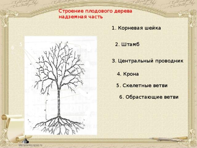 Строение плодового дерева надземная часть 1. Корневая шейка 5 2. Штамб 6 3. Центральный проводник 4 4. Крона 5. Скелетные ветви 3 6. Обрастающие ветви 2 1