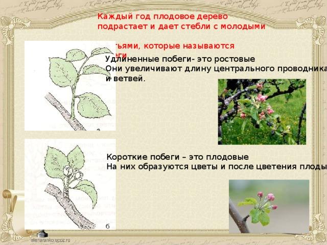 Каждый год плодовое дерево подрастает и дает стебли с молодыми листьями, которые называются побеги Удлиненные побеги- это ростовые Они увеличивают длину центрального проводника и ветвей. Короткие побеги – это плодовые На них образуются цветы и после цветения плоды