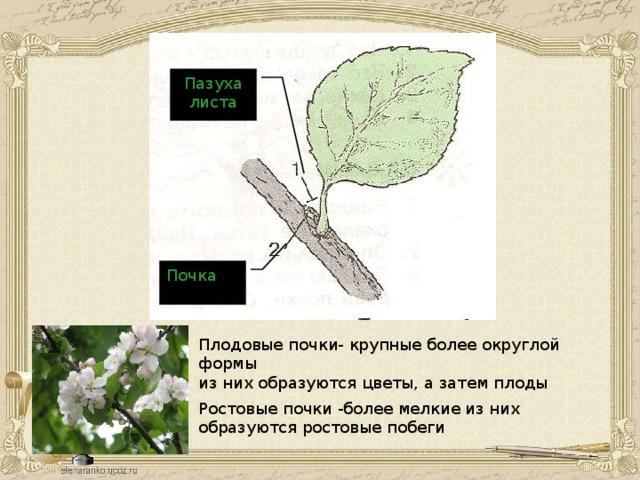 Пазуха листа Почка Плодовые почки- крупные более округлой формы из них образуются цветы, а затем плоды Ростовые почки -более мелкие из них образуются ростовые побеги