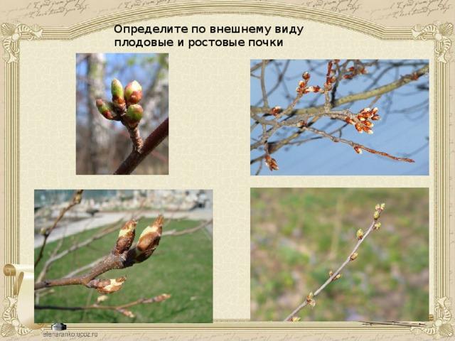 Определите по внешнему виду плодовые и ростовые почки