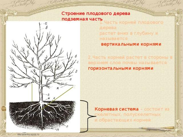 Строение плодового дерева подземная часть 1.Часть корней плодового дерева растет вниз в глубину и называется  вертикальными корнями 2.Часть корней растет в стороны в верхнем слое почвы называется горизонтальными корнями 2 1 Корневая система – состоит из скелетных, полускелетных и обрастающих корней