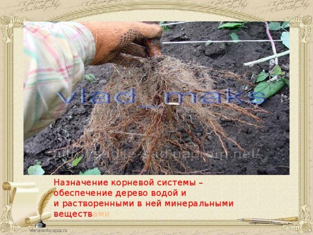 Назначение корневой системы – обеспечение дерево водой и и растворенными в ней минеральными веществ ами