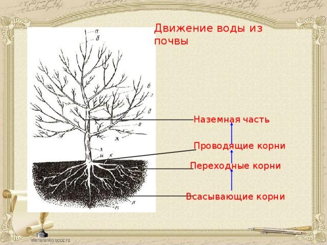 Движение воды из почвы  Наземная часть Проводящие  корни Переходные  корни Всасывающие корни