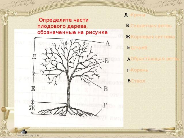 -Крона Д -Скелетная ветвь -Корневая система -Штамб -Обрастающая ветвь -Корень -Ствол  Определите части плодового дерева, обозначенные на рисунке В Ж Е А Г Б