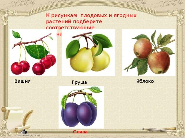 К рисункам плодовых и ягодных растений подберите соответствующие  им названия: Вишня Яблоко Груша Слива