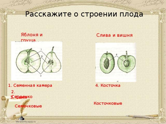 Расскажите о строении плода Яблоня и груша  Слива и вишня 1. Семенная камера 4. Косточка 2. Сердечко 3. Семя Косточковые Семечковые