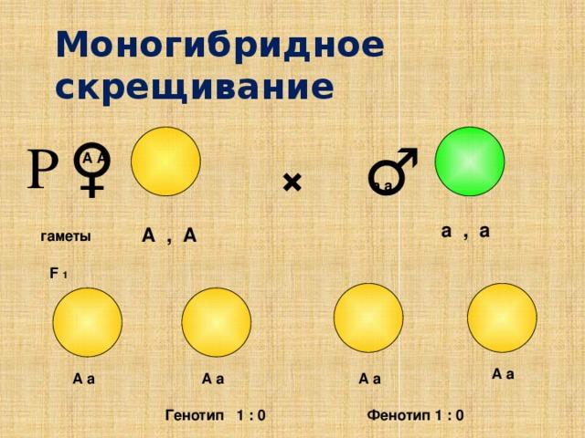 Моногибридное скрещивание ♀ ♂ Р × А А а а а , а А , А гаметы F 1 А а А а А а А а Фенотип 1 : 0 Генотип 1 : 0