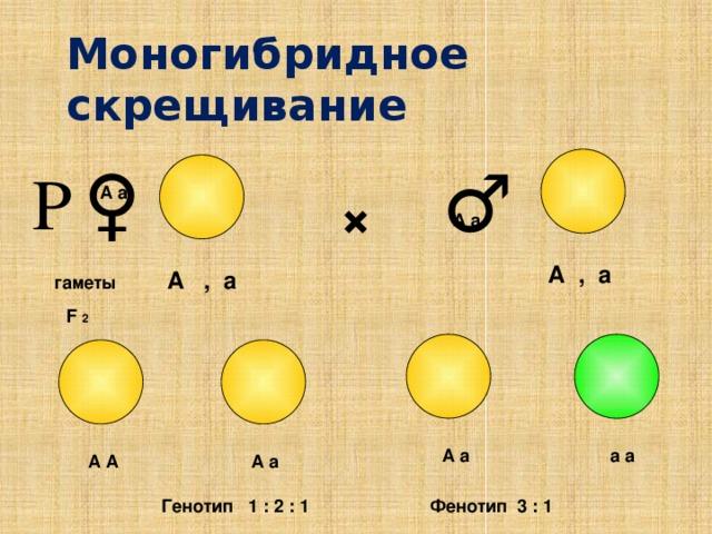 Моногибридное скрещивание ♀ ♂ Р А а × А а А , а А , а гаметы F 2 А а а а А а А А Фенотип 3 : 1 Генотип 1 : 2 : 1