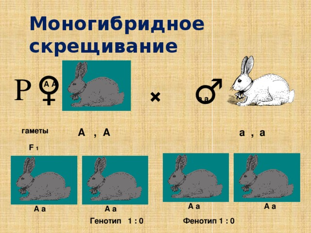 Моногибридное скрещивание ♀ Р ♂ × А А а а А , А а , а гаметы F 1 А а А а А а А а Генотип 1 : 0 Фенотип 1 : 0