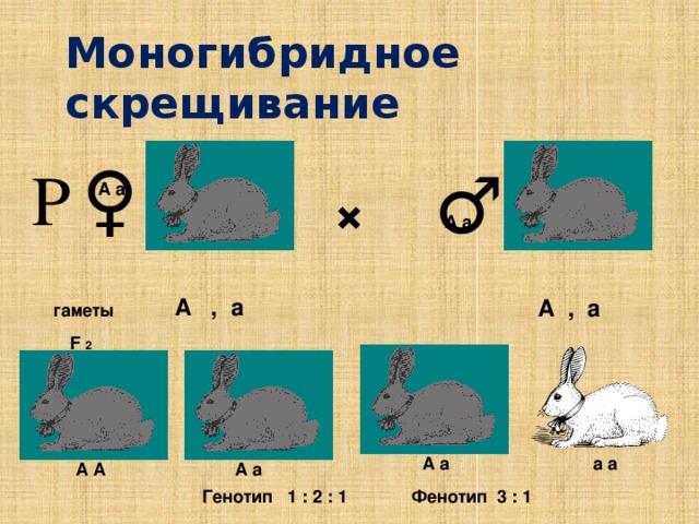 Моногибридное скрещивание ♀ Р ♂ × А а А а А , а А , а гаметы F 2 а а А а А а А А Генотип 1 : 2 : 1 Фенотип 3 : 1