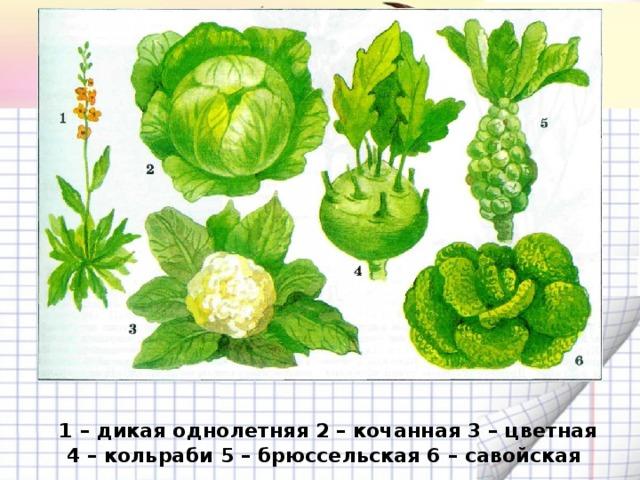 1 – дикая однолетняя 2 – кочанная 3 – цветная 4 – кольраби 5 – брюссельская 6 – савойская